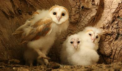 Baby Barn Owls LIVE